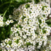 Alyssum, Carpet of Snow Seeds