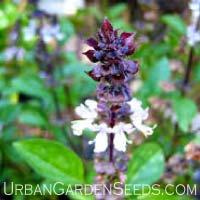 Cinnamon Basil Seeds