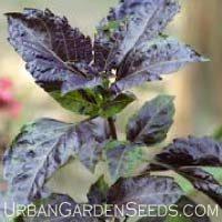 Purple Basil Seeds