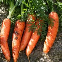 Danvers Carrot Seed