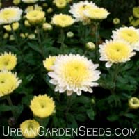 Shasta Daisy Chrysanthemum Seeds