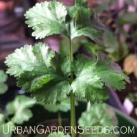 Cilantro Seeds (Coriander)