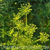 Bouquet Dill Seeds