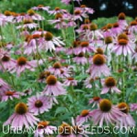 Purpurea Echinacea Seeds