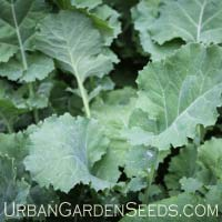 Premier Kale Seeds