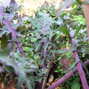 Red Russian Kale Seed