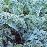 Vates Blue Curled Kale Seed