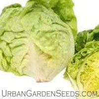 Bibb Lettuce Seed
