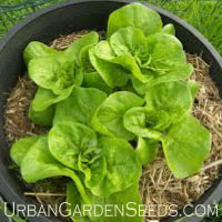 LETTUCE, Buttercrunch