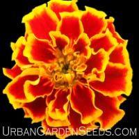 Marigold seeds, Sparky Mix