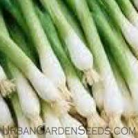 White Onion Scallion Seeds