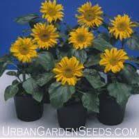 Incredible Dwarf Sunflower Seeds