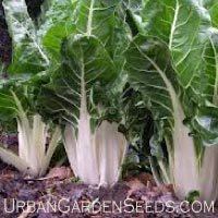 Lucullus Swiss Chard Seeds