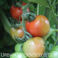 TOMATO, Red Cherry (Large)