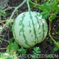 Dixie Queen Watermelon Seeds